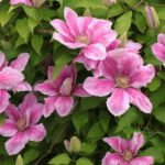 rankgitter-kletterpflanze-clematis