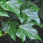 rankgitter-kletterpflanze-efeu