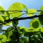 kletterpflanze-pfeifenwinde
