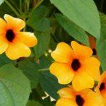 kletterpflanze-schwarzäugige-susanne