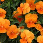 rankhilfe-kletterpflanze-kapuzinerkresse