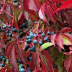 kletterpflanze-wilder-wein